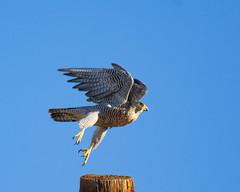 Take Off (dan.weisz) Tags: peregrinefalcon peregrine falcon raptor birdofprey bird tucson