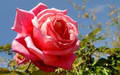 Rosa / Rose (LeonCalquin (2)) Tags: leon calquin fotos photos vincent carolina marcelo videos santiago chile flickr quincal huine huiñe aquelarre lago vichuquen diseño catalog catalogo senderismo hiking travel viajes flor rose rosa
