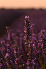 Lavanda (Hachimaki123) Tags: brihuega plant planta flor flower lavanda lavender
