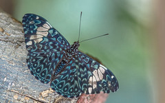 Hamadryas amphinome (Torok_Bea) Tags: hamadryasamphinome hamadryas butterfly lepke pillangó natur nature nikon nikond7200 d7200 macro macroshot blue sigma sigma105 butterflyes