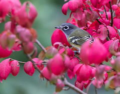 Autumn Visitor (dshoning) Tags: burningbush migration autumn perch vireo