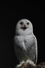 Bird of Prey 2018 (Tom Tiger) Tags: a035 tamron 100400mm bird prey owl nature studio canon 80d