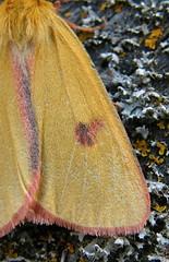 Vörösszélű medvelepke (Diacrisia sannio) hím szárnyrészlet - Rotrandbär Männchen - Clouded buff male (baloghdia1985) Tags: moth erebidae diacrisia