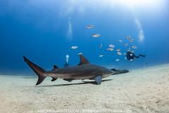 Scanning by (NickPolanszkyPhotography) Tags: nick polanszky underwater photography canon 5diii aquatica digital shark bullshark bullsharks cabo cabopulmo pulmo scuba diving
