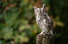 Eastern Screech Owl (rmikulec) Tags: owl eastern screech owlet raptor bird prey animal nature photo portrait