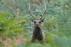 Sika stag (wild) (KHR Images) Tags: sika deer cervusnippon wild mammal stag mature male autumn rut isleofpurbeck dorset woodland forest wildlife nature nikon d500 kevinrobson khrimages
