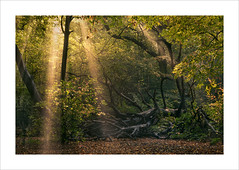 Transcendental (Nigel Morton) Tags: hi highgate woods wood highgatewood forest woodland trees landscape intimate fall sunrays sun rays crepuscular london muswellhill haringet nature walk morning colour