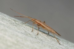 Stenodema calcarata - 19 X 2018 (el.gritche) Tags: heteroptera france 40 garden miridae stenodema calcarata stenodemacalcarata