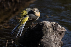 Grey Wagtail (A Crowe Photography) Tags: greywagtail wagtail bird nature wales welshphotographer