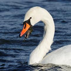 F36A4861_DxO_full (solkatt64) Tags: swans birds seabirds nature