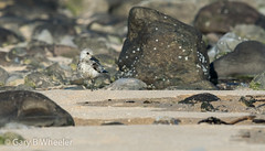 Sanderling (Ponty Birder) Tags: g b wheeler garywheeler pontybirder birds waders wales