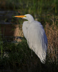 10-23-18-0039031 (Lake Worth) Tags: animal animals bird birds birdwatcher everglades southflorida feathers florida nature outdoor outdoors waterbirds wetlands wildlife wings