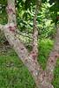 Bocquillonia sessiliflora (Ben Caledonia) Tags: nouvellecalédonie newcaledonia euphorbiaceae bocquilloniasessiliflora bocquillonia trunk cauliflorous