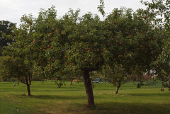 2018_09_0798 (petermit2) Tags: appletree apple apples orchard tree walledgarden clumberpark clumber nottinghamshire nationaltrust nt