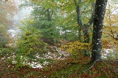 Ametsetan (Paulo Etxeberria) Tags: basoa bosque forest forêt pagoak hayas europeanbeech hêtres lainoa niebla mist brouillard udazkena otoño autumn automne iturrieta iturrietakomendiak montesdeiturrieta arrigorrista opakua ametsa sueño dream rêve
