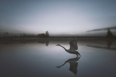 Mind is calm as a lake (petrisalonen) Tags: swan nature finland reflection night nightphotography bird birdphotography autumn landscape flying fin suomi mirror photoshop blue white light