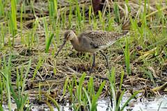 K32P5272c  Black-tailed Godwit, RSPB Leighton Moss, September 2018 (bobchappell55) Tags: wild nature wildlife rspbleightonmoss lancashire bird blacktailedgodwit limosalimosa
