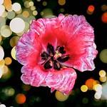 Toronto Ontario - Canada  - Edwards Garden -  Botanical Gardens -  Bokehs thumbnail