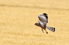 a2U7A3889_sml (ozenigma61) Tags: spottedharrier harrier raptor birdinflight