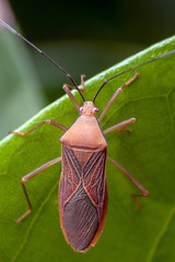 Different Shades of Red - _TNY_3368 (Calle Söderberg) Tags: macro canon canoneos5dmarkii canon5dmkii canonef100mmf28usmmacro raynox dcr250 flash mk300 glassdiffusor insect meike vietnam phuquoc heteroptera hemiptera f22