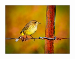 Palm Warbler in October (George McHenry Photography) Tags: birds warbler palmwarbler southcarolina southcarolinabirds