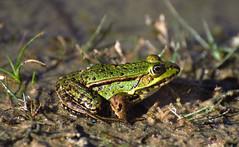 Frog {kikker) (moniquedoon) Tags: nature kikker kikkers frogs natuur wildlife nikon