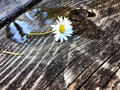 White flower (ultraviolence_lotus) Tags: white flower table wood forest reflection closeup water oregon photography