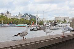Westminster Bridge (triniquito) Tags: inglaterra england londres london city ciudad europa europe westminsterbridge bridge puente bigbeg abadía abbey londoneye gaviota seagull