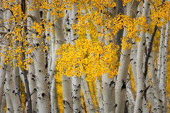 Autumn Gold (Hilton Chen) Tags: leaves colorado nature fallcolors autumn trunks sanjuanmountains aspens placerville unitedstates us