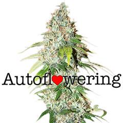 og-kush-marijuana-seeds-autoflower_large (Watcher1999) Tags: og kush cannabis medical marijuana seeds growing strain plant weed smoking weeds ganja legalize it