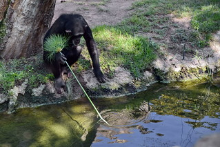 Chimpanzee goes fishing