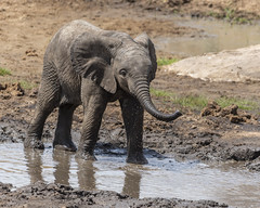 Elephant in water (RedPlanetClaire) Tags: eastafrica safari tarangirenationalpark nationalpark animal wild elephant herd lake reflection water