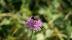 DSC02468 (Alexus Wendus) Tags: wald himmel berge bayern allgäu füssen forggensee wandern klettern seilbahn natur freiheit gipfel urlaub schöpfung landschaft blume blüte wespe biene