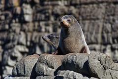 2017-03-28_C6606W_BrunyIsland_cruise_DxO_crop2 (Des (Australia)) Tags: pentax k3 pentaxda55300mmf4563plm brunyisland tasmania cruise seal australianfurseal arctocephaluspusillus mammal