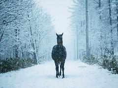 moment (MakiEni777) Tags: horse winter snow hokkaido road japan asia cold