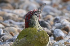 Green Woodpecker  (Picus viridis) Dungeness RSPB (GrahamParryWildlife) Tags: add tags grahamparrywildlife sigma 150600 sport 150 600 canon 7d mkii outdoor animal depth field mk2 uk kent rspb viewing photo new sunlight up blue dof kentwildlife dungeness green woodpecker male grass bird macro