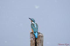 Pour mon ami Alexandre Vanderyeught (Ezzo33) Tags: alcedo atthis martinpêcheur deurope france gironde nouvelleaquitaine bordeaux ezzo33 nammour ezzat sony rx10m3 parc jardin oiseau oiseaux bird birds specanimal
