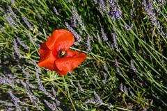 Poppy in lavander field (JLS@Photos) Tags: fleur france arbuste végétal coquelicot lavande drome provencealpescôtedazur lavandin flower lavender papaverrhoeas poppy rochesaintsecretbéconne auvergnerhônealpes fr coth thesunshinegroup coth5 alittlebeauty