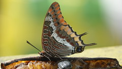 Twin tailed Pasha (KevBar2000) Tags: twin tailed pasha butterfly insect gibralter