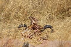 Buffalo Skull (Rckr88) Tags: buffalo skull buffaloskull skulls buffaloskulls horn horns carcass nature outdoors wildlife krugernationalpark southafrica kruger national park south africa