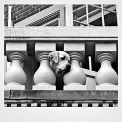 On Guard (just.Luc) Tags: dog chien hond hund bn nb zw monochroom monotone monochrome bw kopenhagen københavn copenhagen copenhague copenhaga zealand sjælland seeland danmark denmark denemarken danemark dänemark tanska europa europe square vierkant carré quadrat polaroid