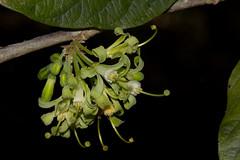 Turraea nilotica (zimbart) Tags: angiosperms cream flora gorongosanationalpark meliaceae mozambique roadno11 sapindales turraea green africa turraeanilotica