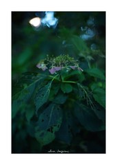 2018/10/6 - 8/15 photo by shin ikegami. - SONY ILCE‑7M2 / Lomography New Jupiter 3+ 1.5/50 L39/M (shin ikegami) Tags: macro マクロ 紫陽花 flower 花 井の頭公園 吉祥寺 autumn 秋 sony ilce7m2 sonyilce7m2 a7ii 50mm lomography lomoartlens newjupiter3 tokyo sonycamera photo photographer 単焦点 iso800 ndfilter light shadow 自然 nature 玉ボケ bokeh depthoffield naturephotography art photography japan earth asia