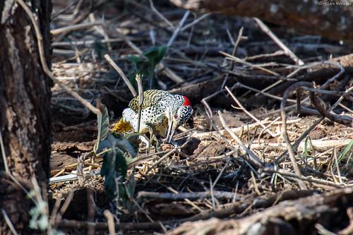 Nubian Woodpecker (Campethera nubica), female foraging