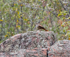 Canyon Wren (Boulder Flying Circus Birders) Tags: canyonwren catherpesmexicanus canyonwrencolorado canyonwrenboulder wildbirdboulder wildbirdcolorado boulderflyingcircusbirders freebirdwalk saturdaymorningbirders bouldercounty colorado kevinrutherford fernlakephotography