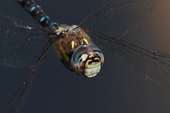 Migrant Hawker (Stephen B53) Tags: dragonfly flight closeup macro dragonflyinflight pixoom