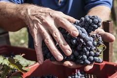 IMG_6073 (Marco Ambrosini Fotografo) Tags: vendemmia maremma toscana vineyard vitigno vite vine vino wine morellino scansano harvestgrapes uva coltivazione coltivatore tradizione heritage blue purple red rosso viola blu sky cielo