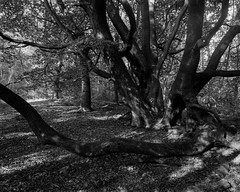 Ancient Beech (Hyons Wood) (Jonathan Carr) Tags: tree hyonswood blackandwhite monochrome ruralnortheast ancientwoodland walkertitansf 4x5 largeformat landscape