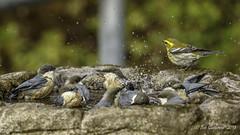 Pygmy Nuthatches - Lots of bathtime fun (Bob Gunderson) Tags: birds california fortmason northerncalifornia nuthatches pygmynuthatch sanfrancisco sittapygmaea