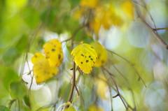 Transition (Baubec Izzet) Tags: baubecizzet pentax bokeh leaves nature autumn